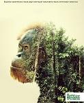 Шок-видео: Орангутан атакует бульдозер в попытке защитить лес в Индонезии