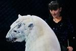Белого медведя<br> в наморднике<br> заставляют петь и<br> танцевать в цирке