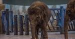 Точка бифуркации цирковой системы: ВИТА направляет новые заявления в ФАС, УФНС и Прокуратуру Ростовской области по факту продажи слоненка Эколь в цирк Запашных