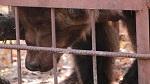 """>Суицидный цирк на проспекте Вернадского? О медведях в цирке, высказывании Невзорова и череде """"случайных"""" трагедий (ВИДЕО)"""