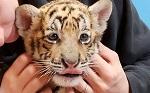 Палата представителей США проголосовала за принятие Закона об общественной безопасности больших кошек