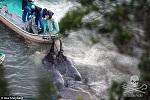 Пойманные: на этой фотографии, снятой Sea Shepherd, видны веревки, обвязанные вокруг хвостов добрых гигантов.
