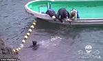 Снова поймана: гринду, которой удалось уплыть, снова притащили к лодкам. Ее хвост привязан к судну