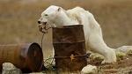 """""""Убийство с """"уважением""""  не поможет белым медведям пережить глобальное потепление"""""""