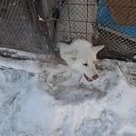 SOS! «Крещенские морозы до -60°С в Якутии собаки в неутепленных вольерах точно не переживут…»