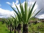 Габриэль Морено получил Оксфордскую премию за создание веганской кожи из колумбийского растения Фуркрея