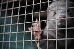 Ирландская партия Фианна Файл поддержала предложение ввести запрет на разведение норки для производства меха в Ирландии