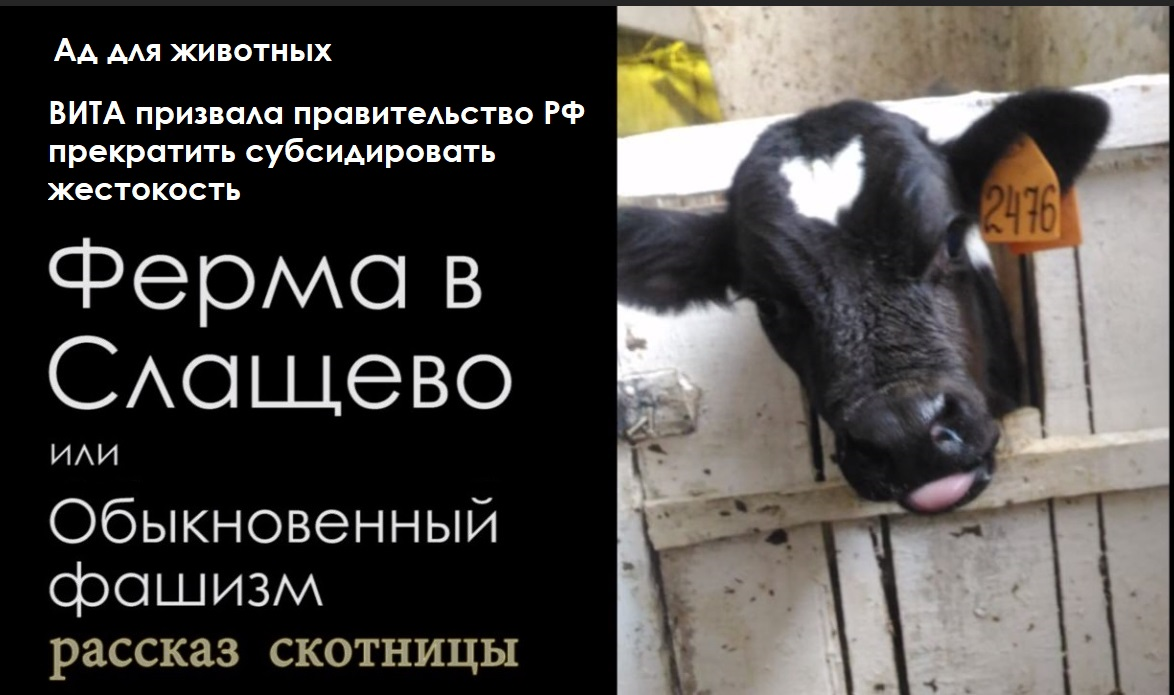 Ад для животных: ВИТА призвала правительство РФ прекратить субсидировать жестокость. Ферма в Слащево, или обыкновенный фашизм. Рассказ скотницы