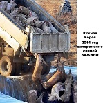 В 2011 году из-за вспышки ящура Южная Корея заживо похоронила 1.4 млн свиней.