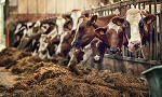 Теснота, грязь, увечья: как мучают животных на фермах