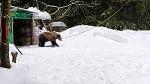 >Зоозащитники нашли медведя, барсука и кабана на «притравочной станции» в Подмосковье. Комментарий ВИТЫ