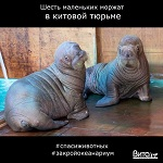>Шесть маленьких моржат содержатся в китовой тюрьме