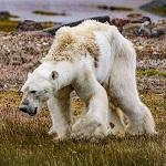 >ПЕТИЦИЯ: Нет охоте на белого медведя в России
