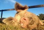 Эти животные спасены от  участи стать чьим-то обедом. Приют «Родственные души»