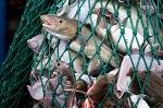>Прогноз: к 2048 году мы можем не увидеть рыбы в океане