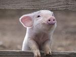 Если бы ваша собака на вкус была, как свинина, вы бы ее съели?