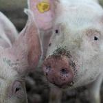 Арканзасские скотоводы стали вега́нами-грибоводами