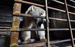 >Как в России губят природу: судьбу белого медведя, вышедшего в Норильск, определил... дрессировщик